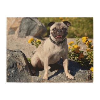 USA, California. Pug Sitting On Boulder Wood Print