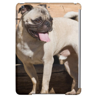 USA, California. Pug Standing On Wooden Bench