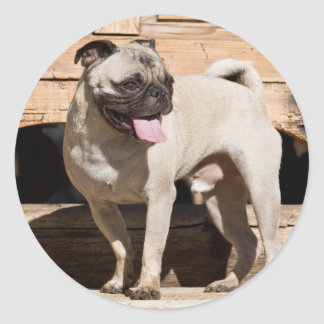 USA, California. Pug Standing On Wooden Bench Classic Round Sticker