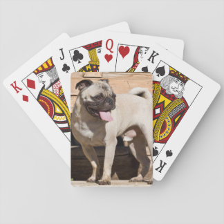 USA, California. Pug Standing On Wooden Bench Playing Cards