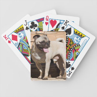 USA, California. Pug Standing On Wooden Bench Poker Deck