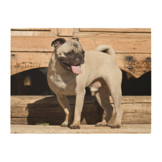 USA, California. Pug Standing On Wooden Bench Wood Canvas