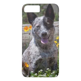USA, California. Queensland Healer Sitting 2 iPhone 8 Plus/7 Plus Case