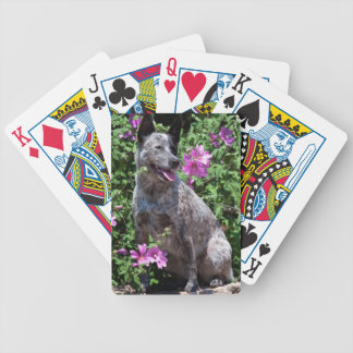 USA, California. Queensland Healer Sitting Bicycle Playing Cards