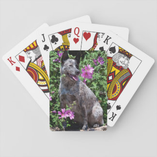 USA, California. Queensland Healer Sitting Playing Cards