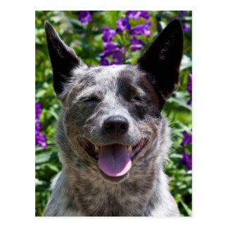 USA, California. Queensland Healer Smiling Postcard