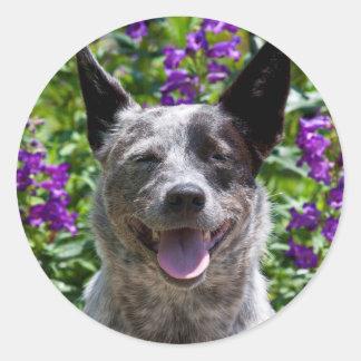 USA, California. Queensland Healer Smiling Round Sticker