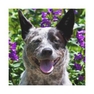 USA, California. Queensland Healer Smiling Stretched Canvas Prints