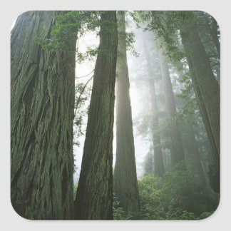 USA, California, Redwood National Park, 2 Square Sticker