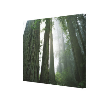USA, California, Redwood National Park, Canvas Print