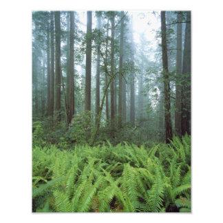 USA California Redwood NP Ferns and Photo Print