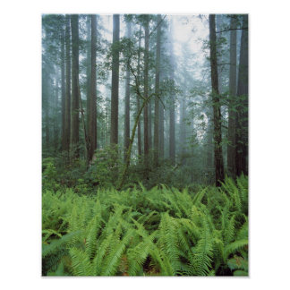 USA, California, Redwood NP. Ferns and Poster