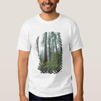 USA, California, Redwood NP. Fog filters the Tee Shirt