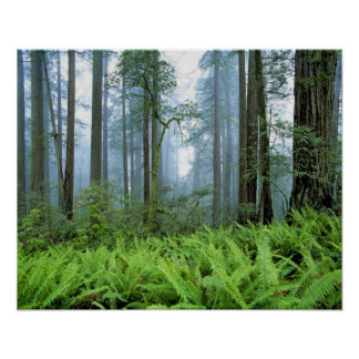 USA, California, Redwood NP. Redwood trees Poster