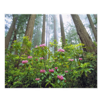 USA California Redwood NP Rhododendron Photographic Print