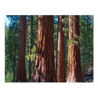 USA, California. Redwood Tree Trunks, Mariposa Postcard