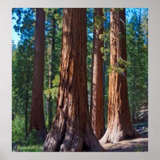 USA, California. Redwood Tree Trunks, Mariposa Poster