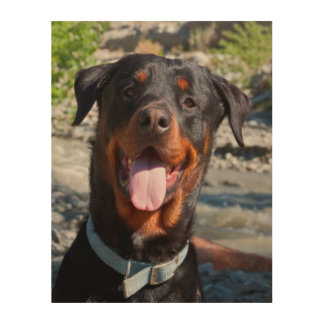 USA, California. Rottweiler Smiling Wood Wall Decor