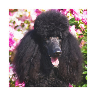 USA, California. Standard Poodle Portrait Stretched Canvas Print