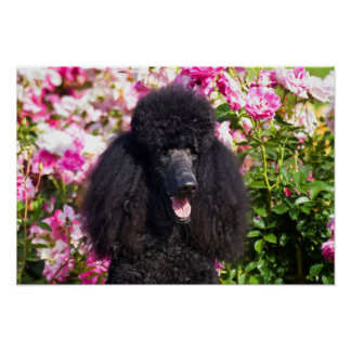 USA, California. Standard Poodle Portrait Poster