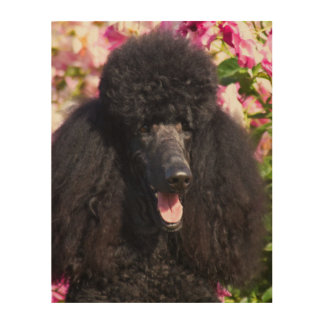 USA, California. Standard Poodle Portrait Wood Print