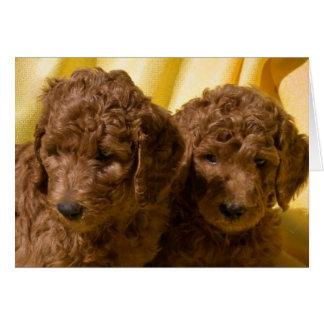 USA, California. Standard Poodle Puppies Card