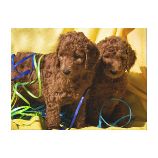 USA, California. Standard Poodle Puppies Gallery Wrap Canvas