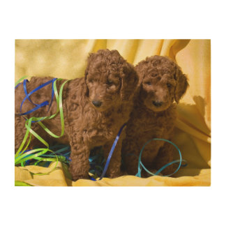USA, California. Standard Poodle Puppies Wood Wall Art