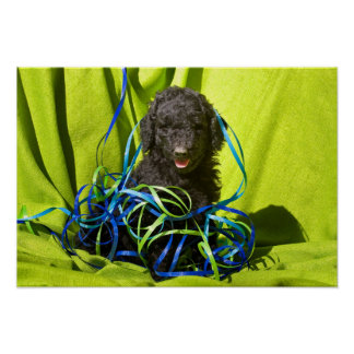 USA, California. Standard Poodle Puppy Sitting Poster