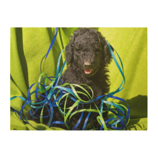 USA, California. Standard Poodle Puppy Sitting Wood Print