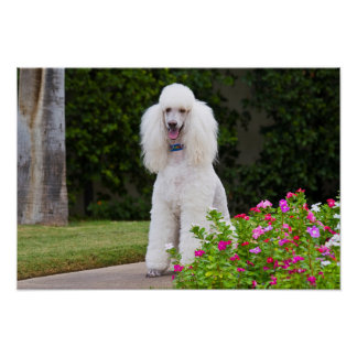 USA, California. Standard Poodle Sitting 2 Poster