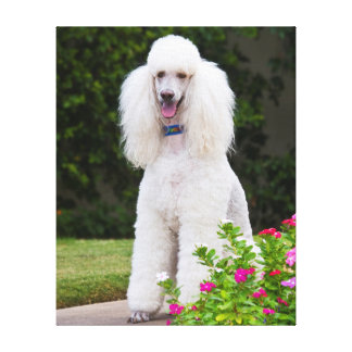 USA, California. Standard Poodle Sitting 2 Stretched Canvas Print