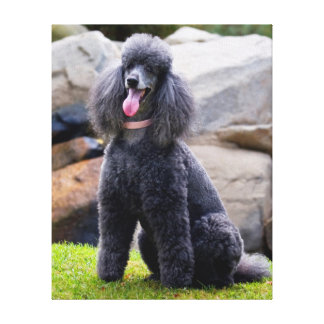 USA, California. Standard Poodle Sitting 3 Stretched Canvas Print