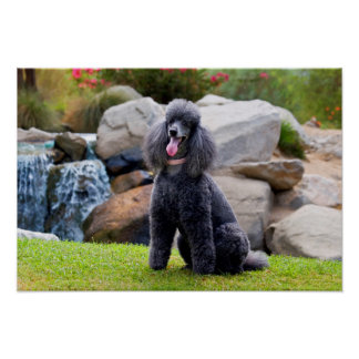 USA, California. Standard Poodle Sitting 3 Poster