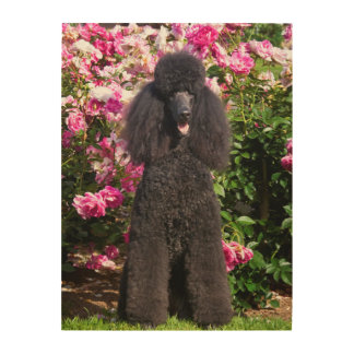 USA, California. Standard Poodle Sitting 3 Wood Canvas