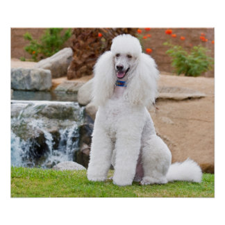 USA, California. Standard Poodle Sitting 4 Poster