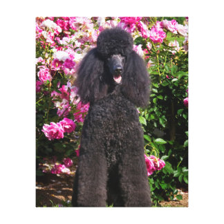 USA, California. Standard Poodle Sitting 4 Stretched Canvas Prints