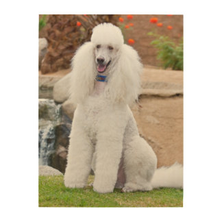 USA, California. Standard Poodle Sitting 4 Wood Wall Decor