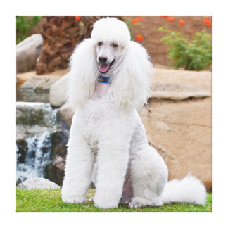 USA, California. Standard Poodle Sitting Stretched Canvas Print