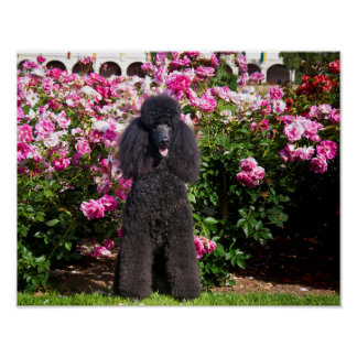 USA, California. Standard Poodle Sitting Poster
