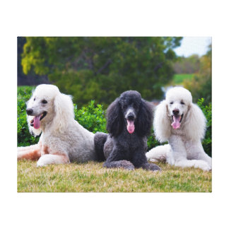 USA, California. Three Standard Poodles Posing Canvas Print