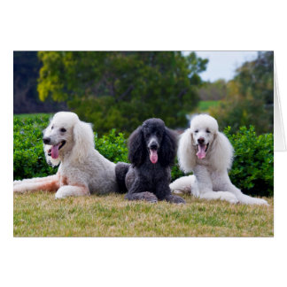 USA, California. Three Standard Poodles Posing Card