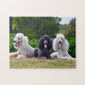 USA, California. Three Standard Poodles Posing Jigsaw Puzzle