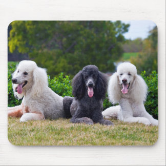 USA, California. Three Standard Poodles Posing Mouse Mat