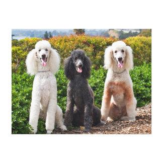 USA, California. Three Standard Poodles Sitting 2 Canvas Print
