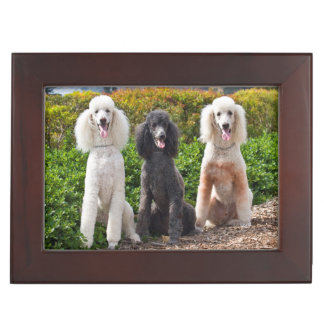 USA, California. Three Standard Poodles Sitting 2 Keepsake Box