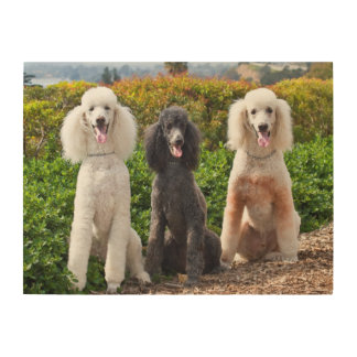 USA, California. Three Standard Poodles Sitting 2 Wood Canvas