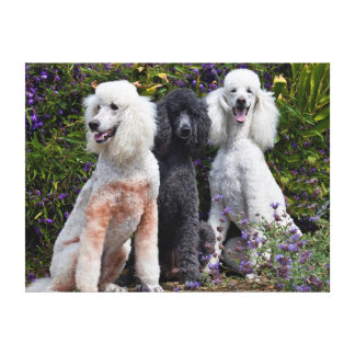USA, California. Three Standard Poodles Sitting Stretched Canvas Print