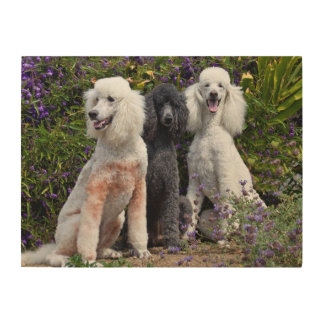USA, California. Three Standard Poodles Sitting Wood Wall Decor