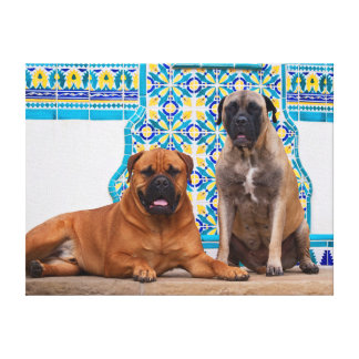 USA, California. Two Mastiffs Looking At You Gallery Wrapped Canvas